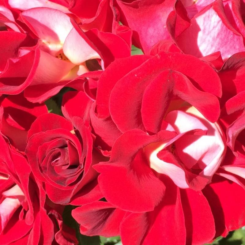 Розы Топси Турви