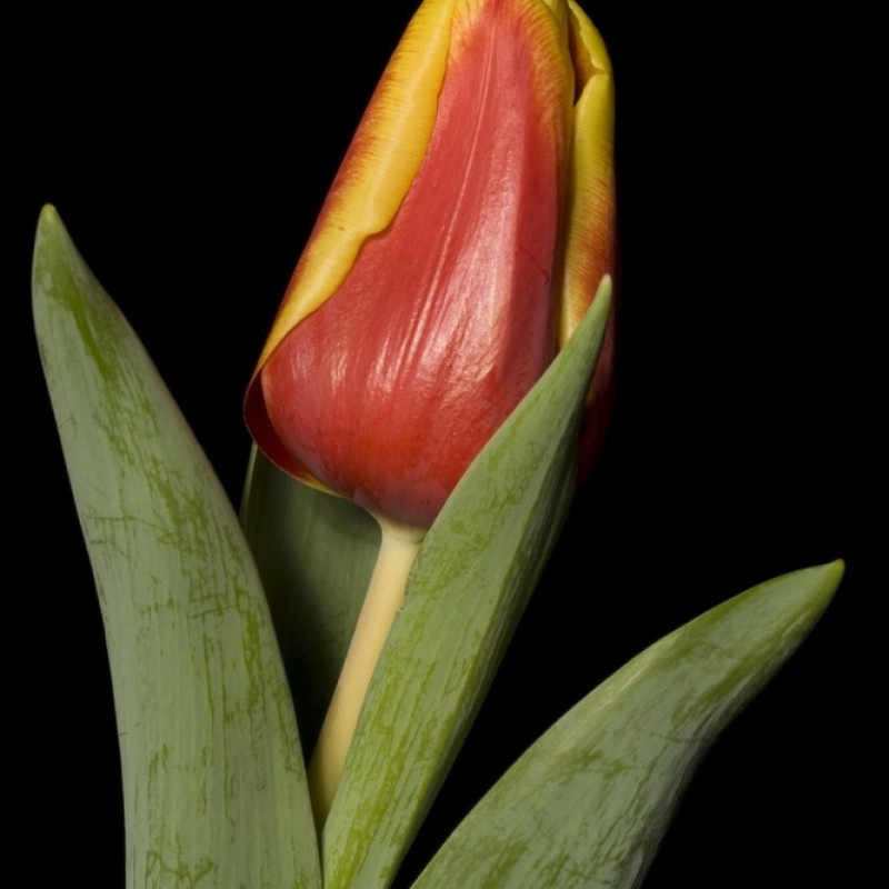 Тюльпаны Энхузьен