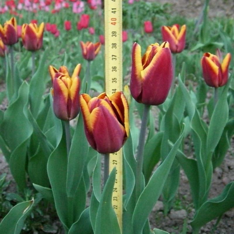 Тюльпаны Абу Хасан