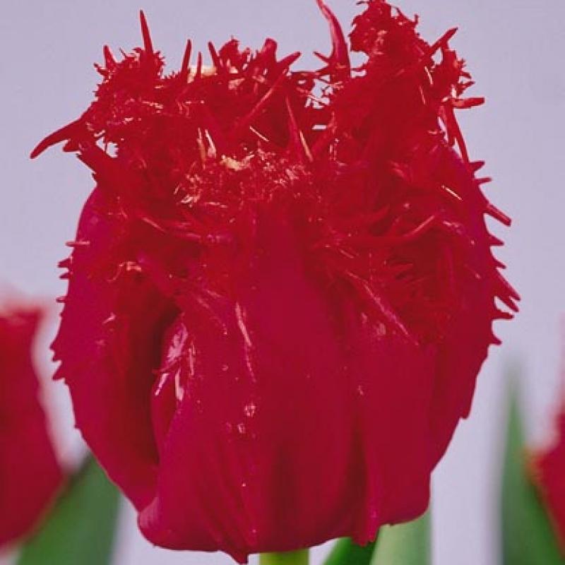 Тюльпаны Фрингед Апельдорн