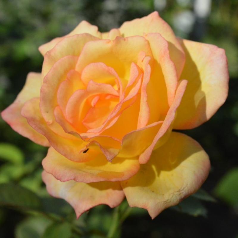 Roses Sheila's Perfume