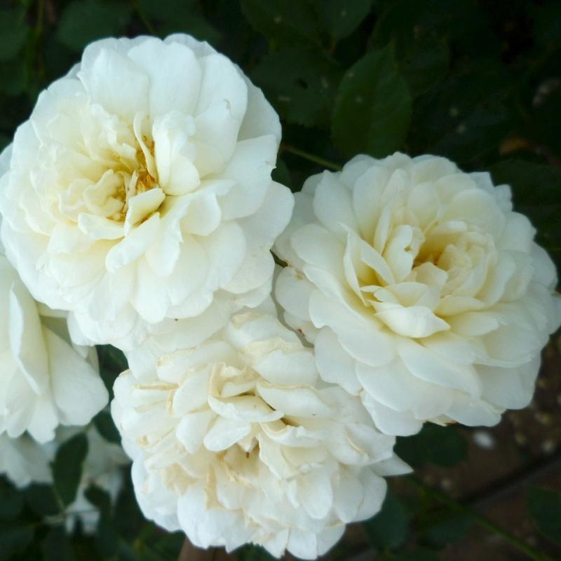 Розы Си Фоам