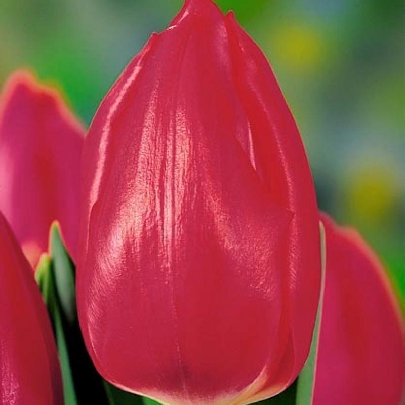 Тюльпаны Эйприл Лав