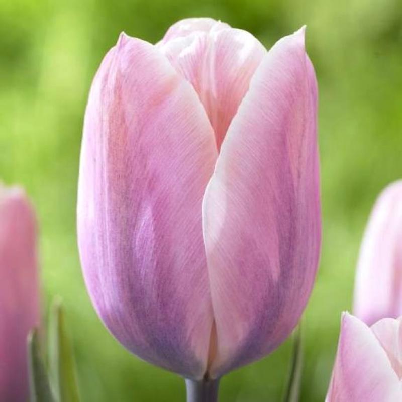 Тюльпаны Суит Лав