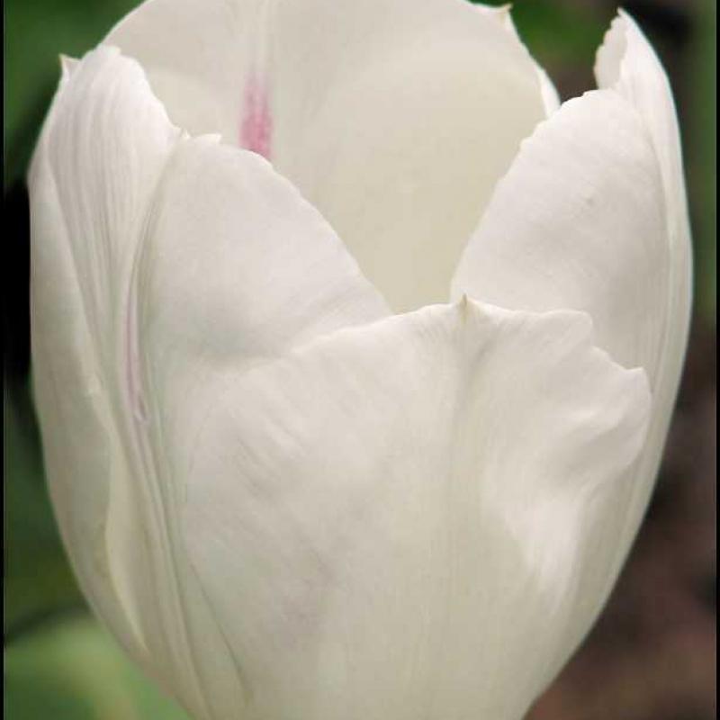Тюльпаны Уайт Флайт