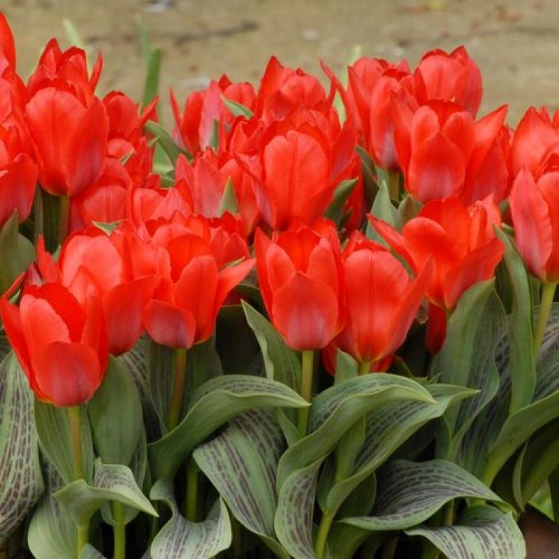 Тюльпаны Ларж Купер