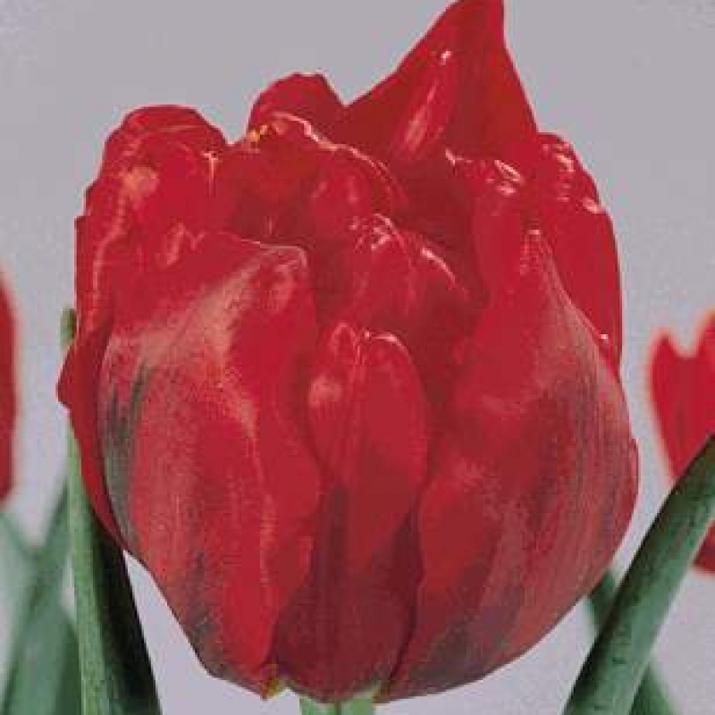 Тюльпаны Гойя