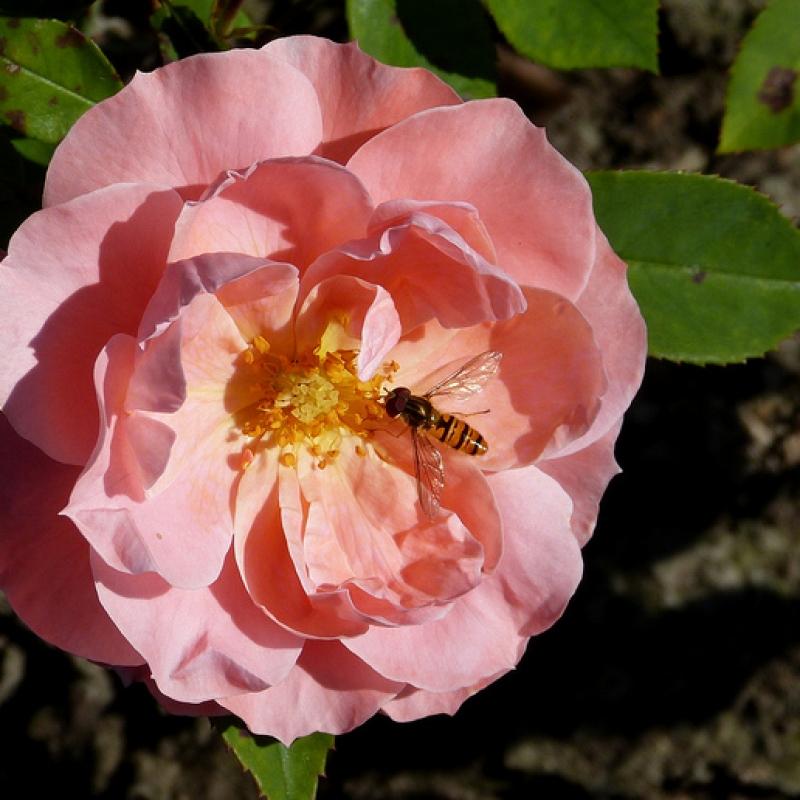 Розы Фаворит