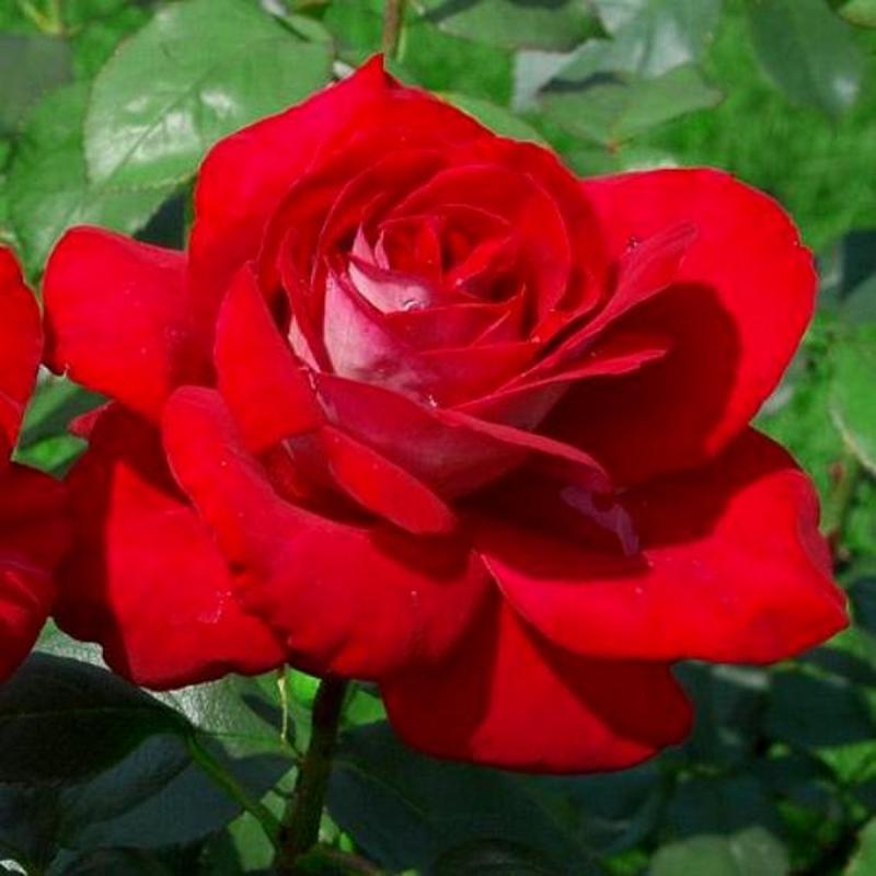 Розы Шато де Версалль
