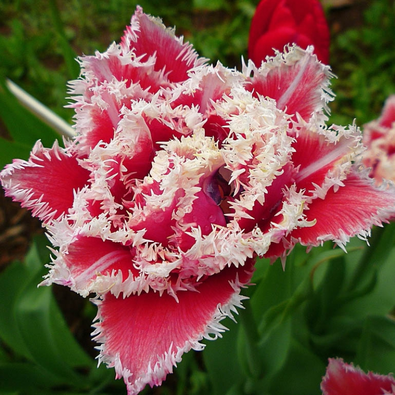 Тюльпаны Брест