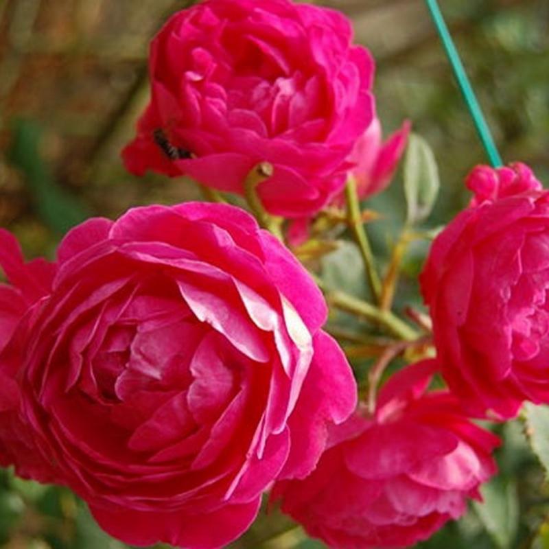 Розы Сибелль