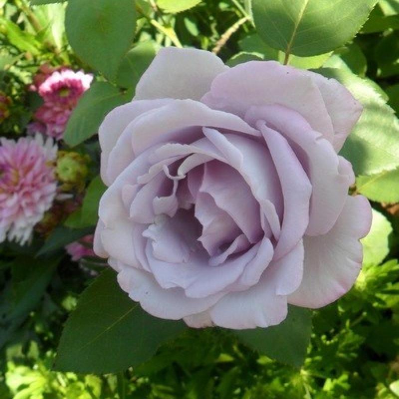 Розы Маинзер Фастнахт