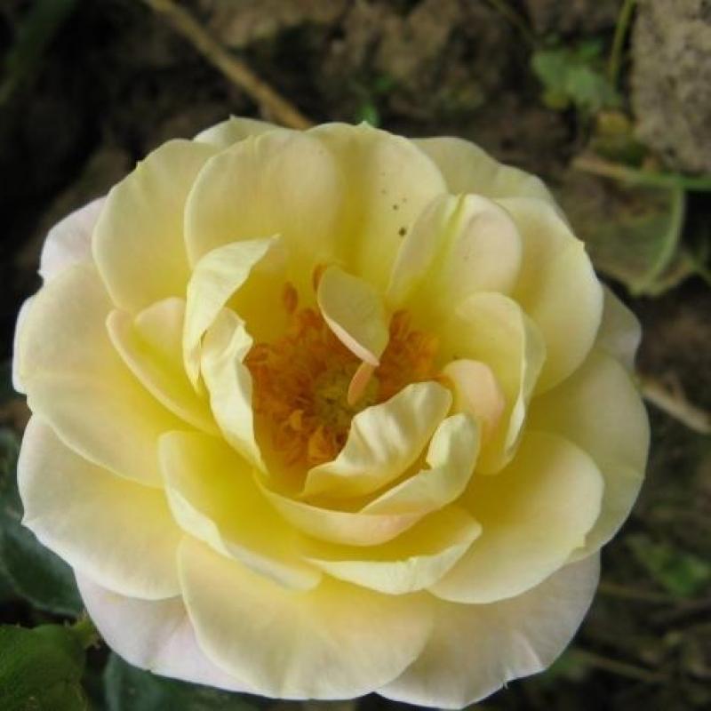 Розы Роузнгартен Маннхеим