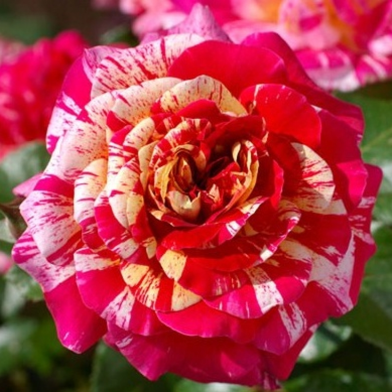 Розы Аина
