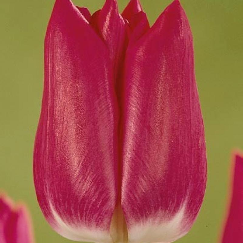 Тюльпаны Гиант Бой