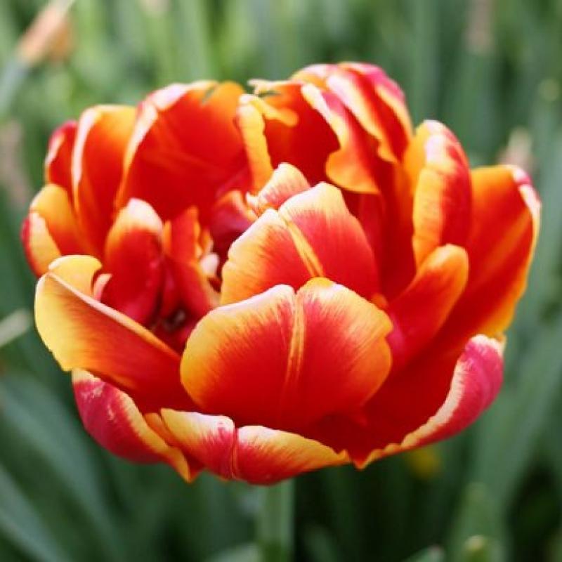 Тюльпаны Дабл Фокус