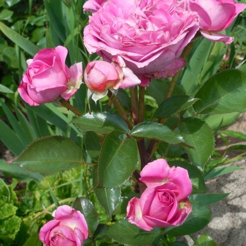 Розы Бернадетте Лафонт