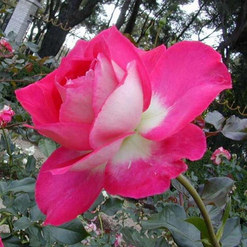 Розы Клос Флойри Биколор