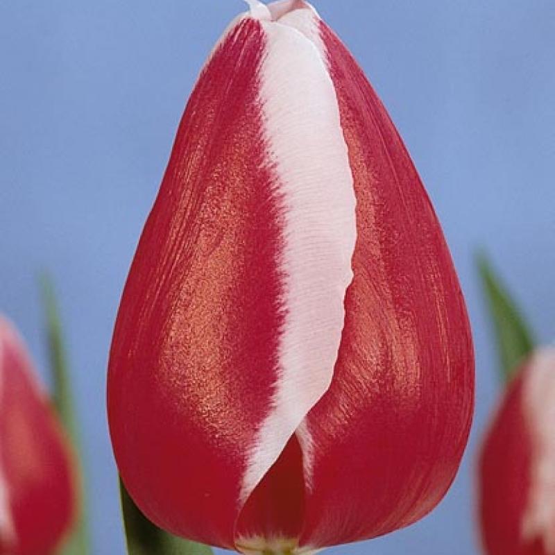 Тюльпаны Барраманса