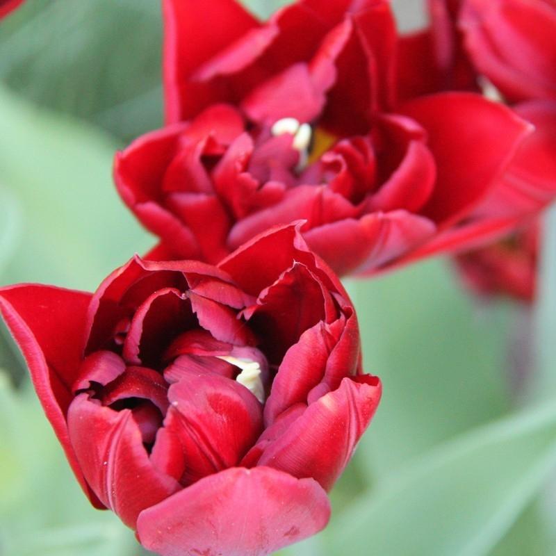 Тюльпаны Анкл Том