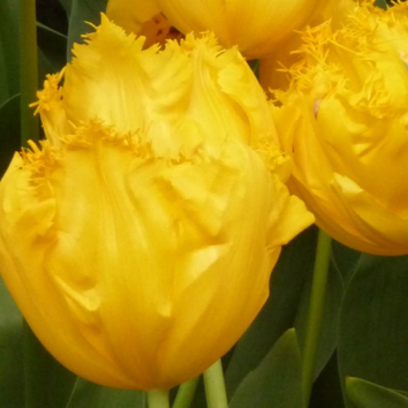 Тюльпаны Фрингед Элеганс