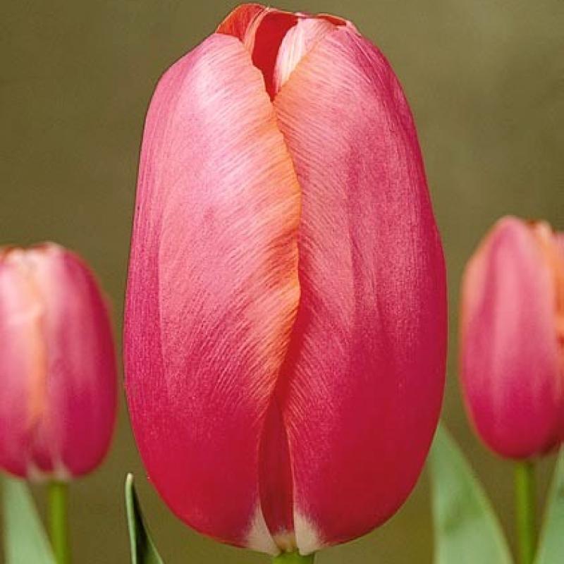 Тюльпаны Реноун