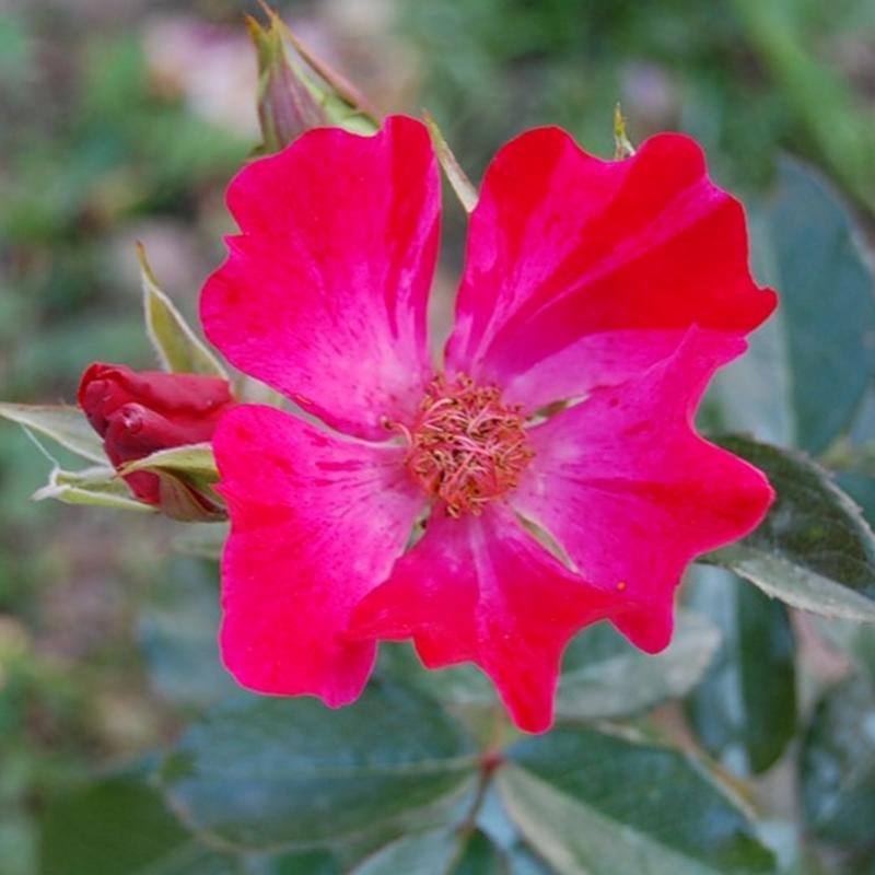 Розы Найт Скай