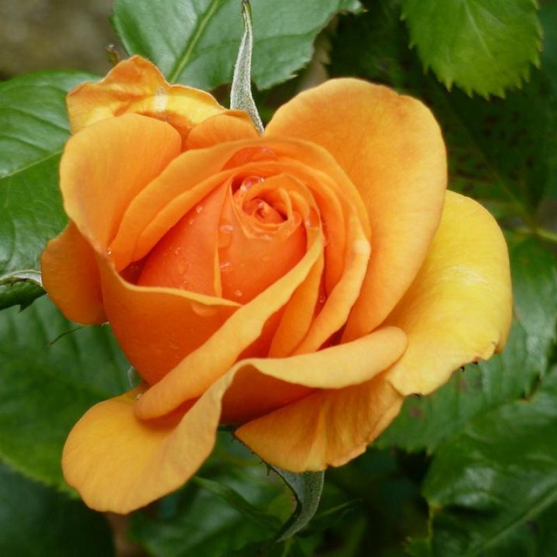 Розы Симпли зе Бест