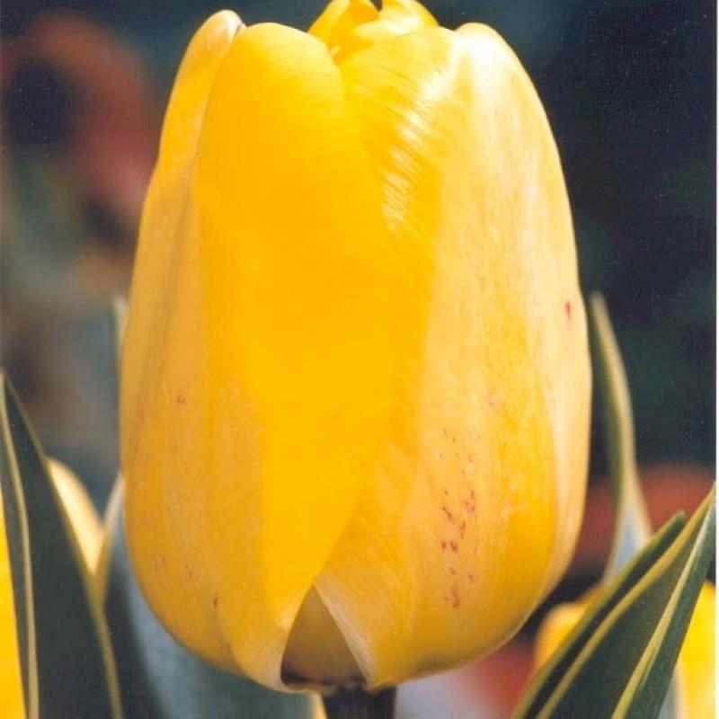 Тюльпаны Хэппи Дизайн