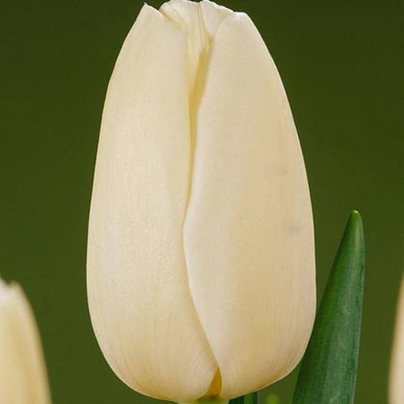 Тюльпаны Ангелз Айз