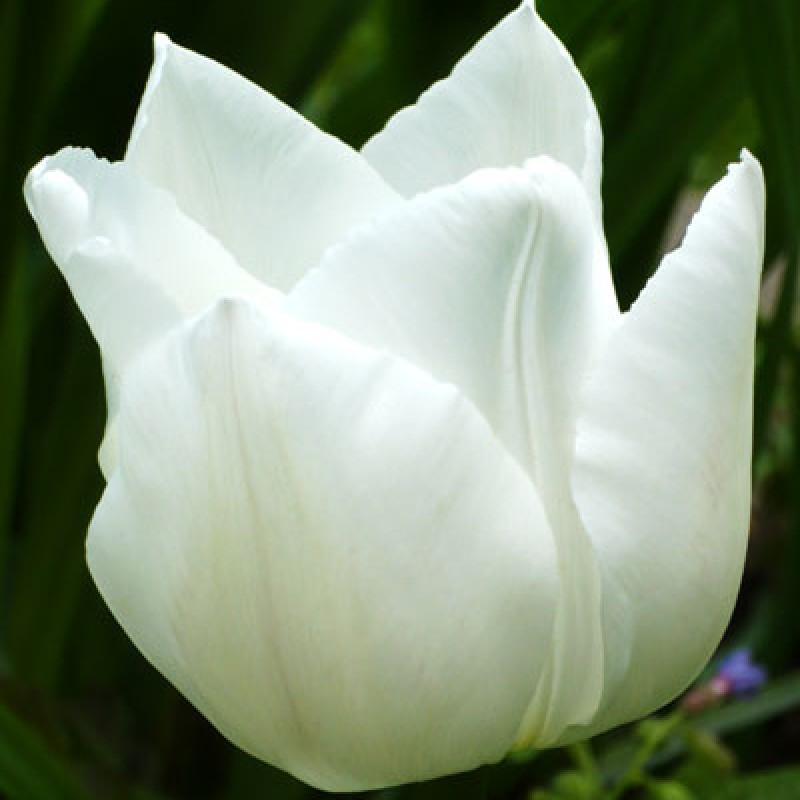 Тюльпаны Уайт Каскад