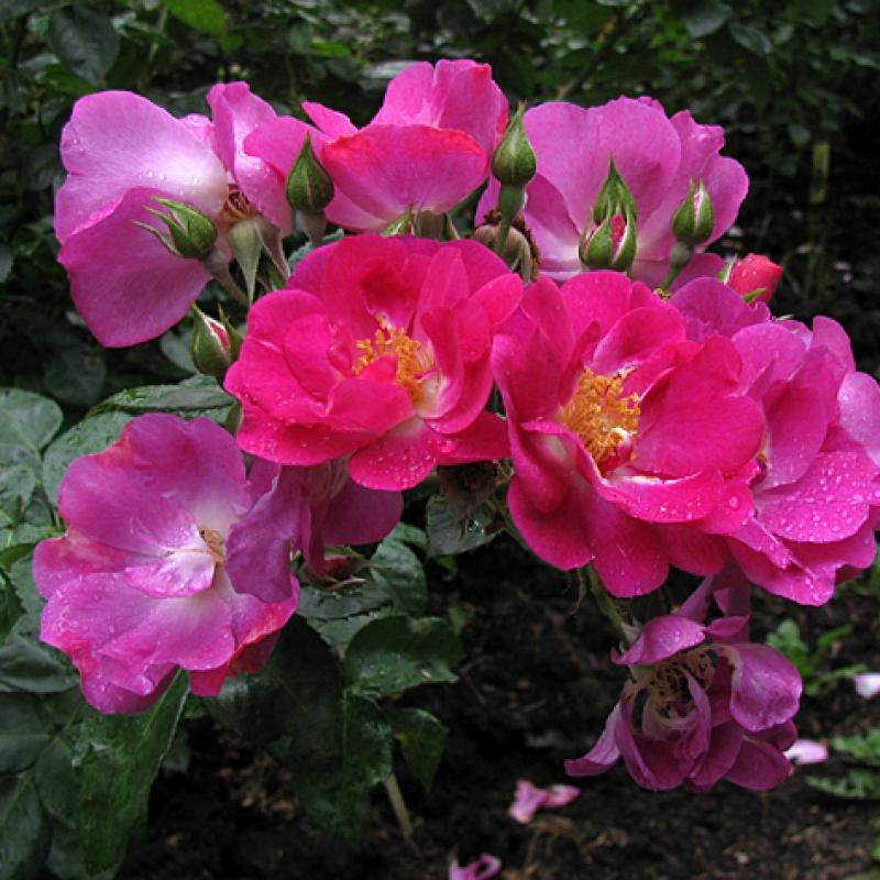 Розы Глобал Уотер