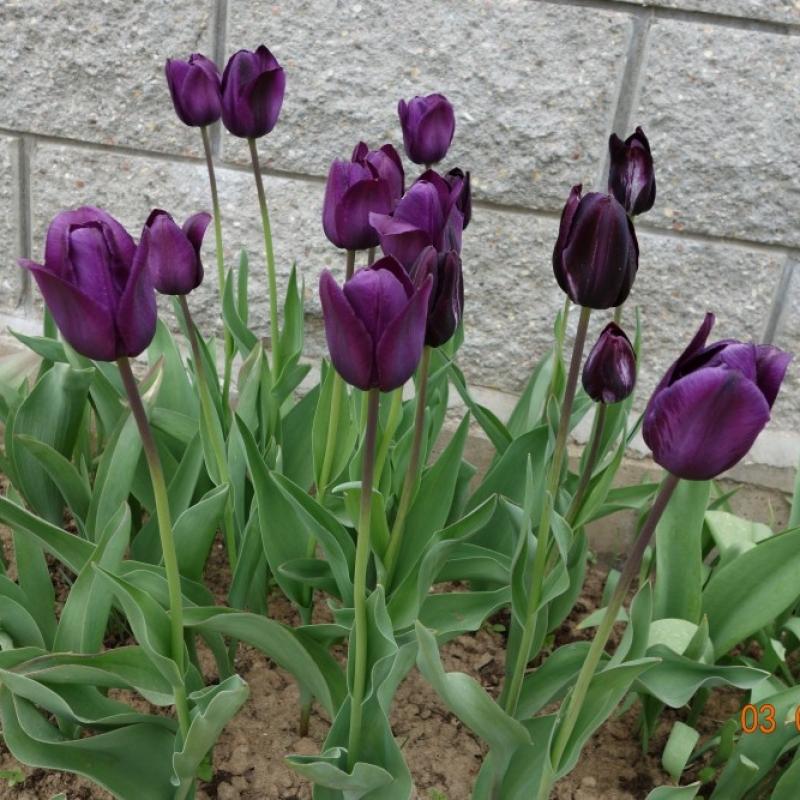 Тюльпаны Блю Эмэйбл