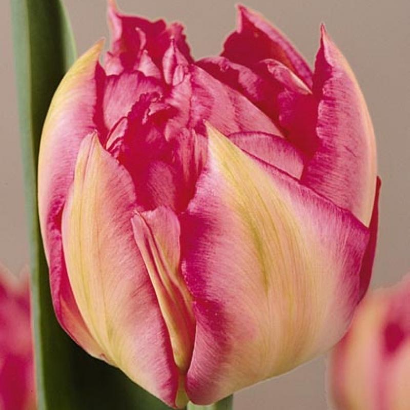 Тюльпаны Принц оф Сансевьеро