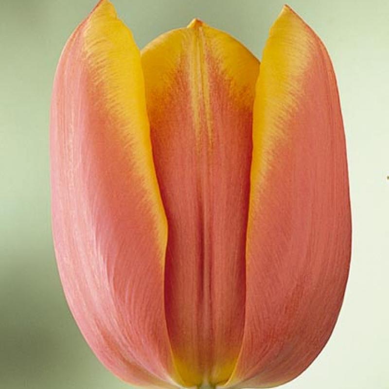 Тюльпаны Лос Анжелес