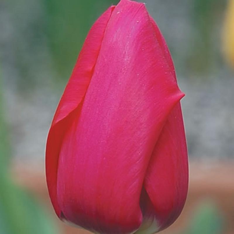 Тюльпаны Патриот