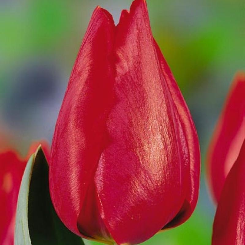 Тюльпаны Ден Хартон