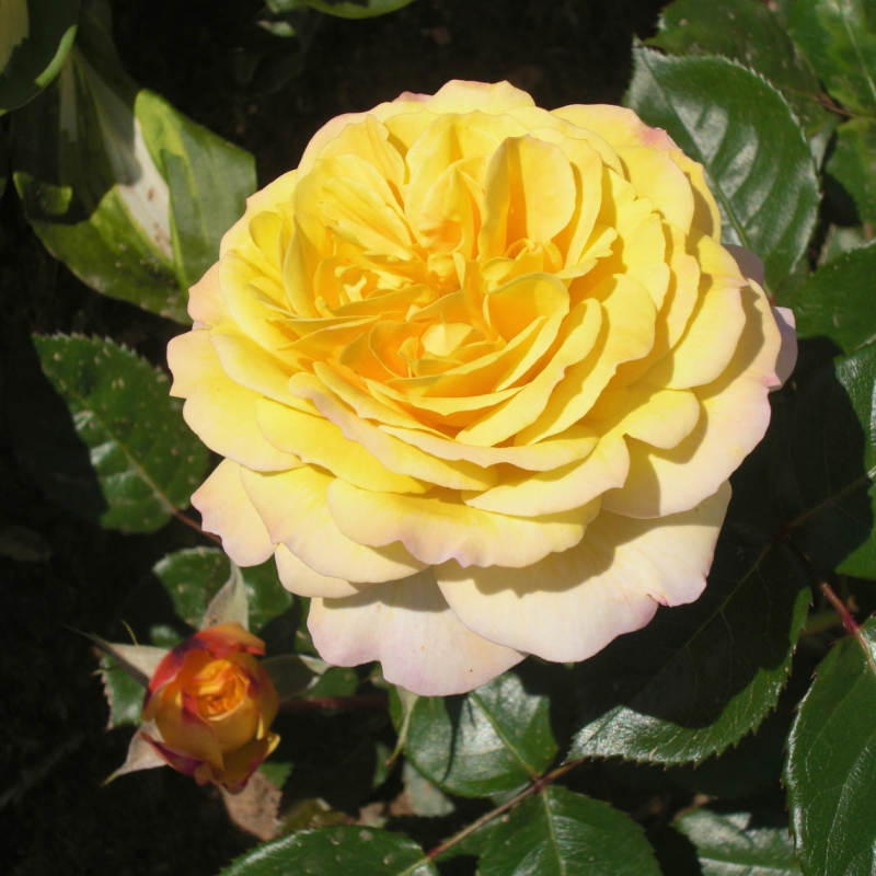 Розы Джорж Денжеан