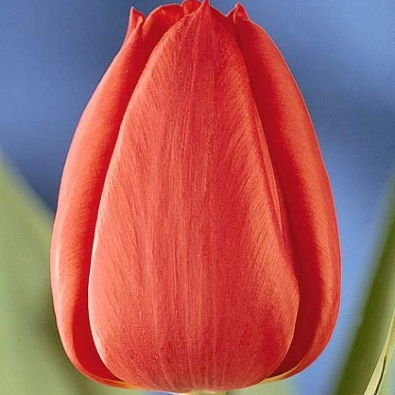 Тюльпаны Пол Рихтер
