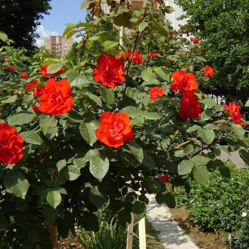 Розы Диаблотин