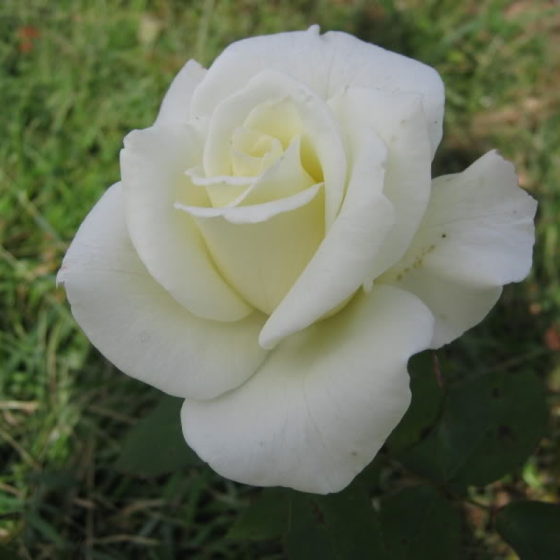 Розы Дж.Ф. Кеннеди