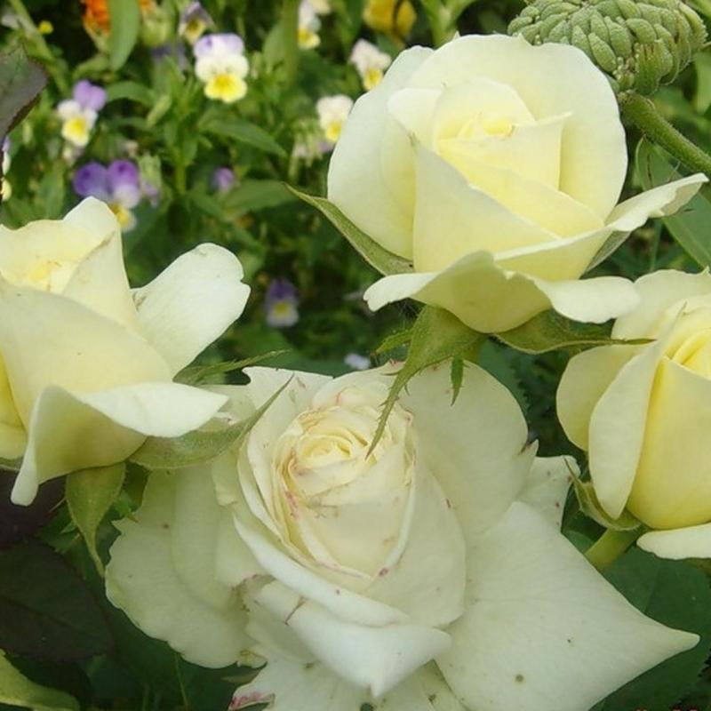 Розы Перл Кордана