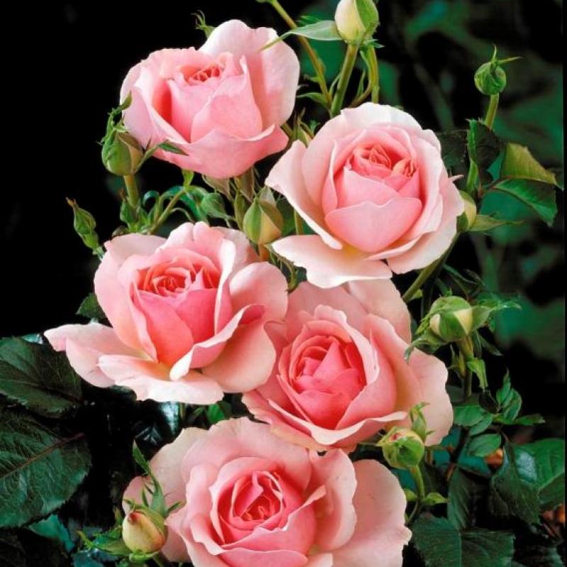 Розы Коте Жардинс