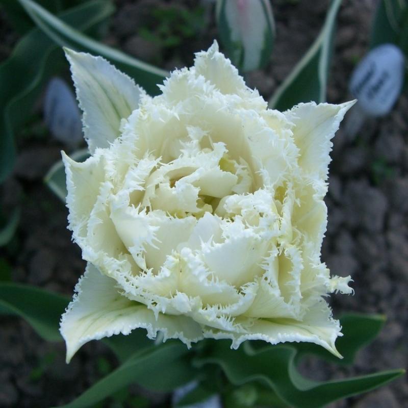 Тюльпаны Сноу Кристал