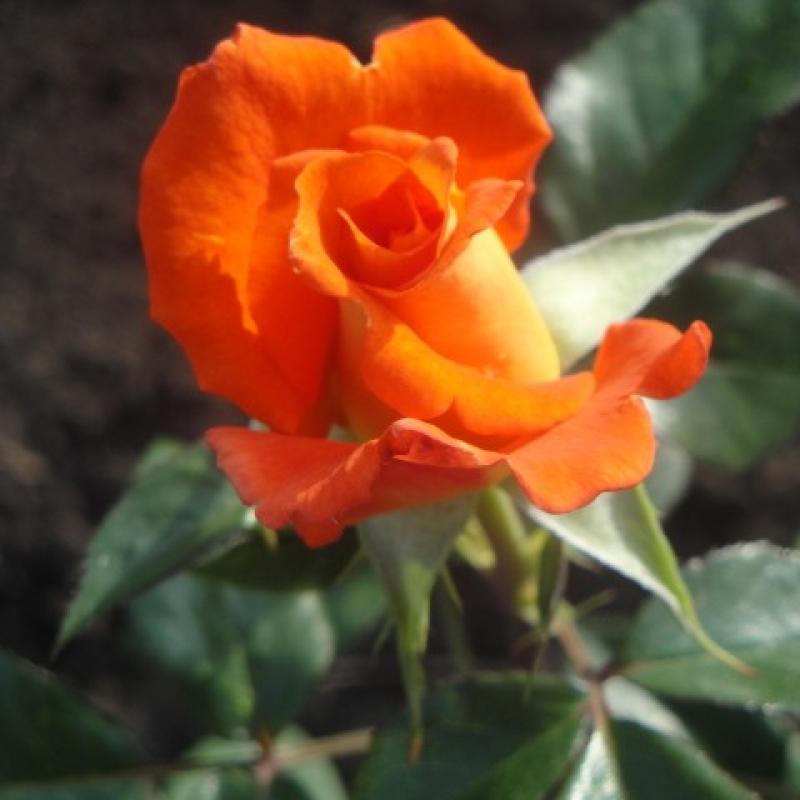 Розы Франс Либре