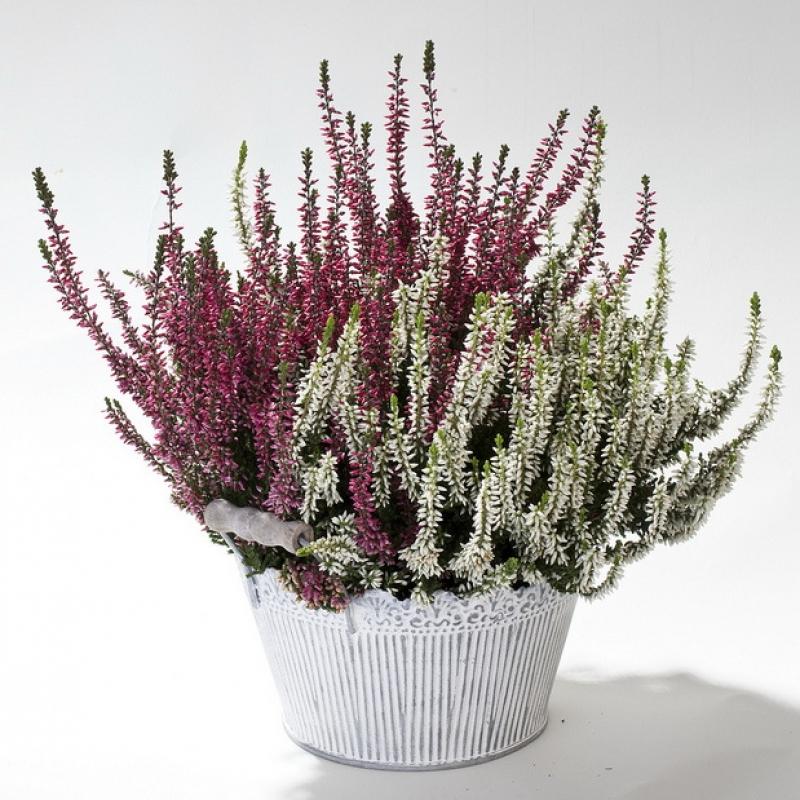 Комнатные растения Вереск