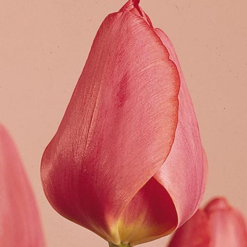 Тюльпаны Элизабет Арден
