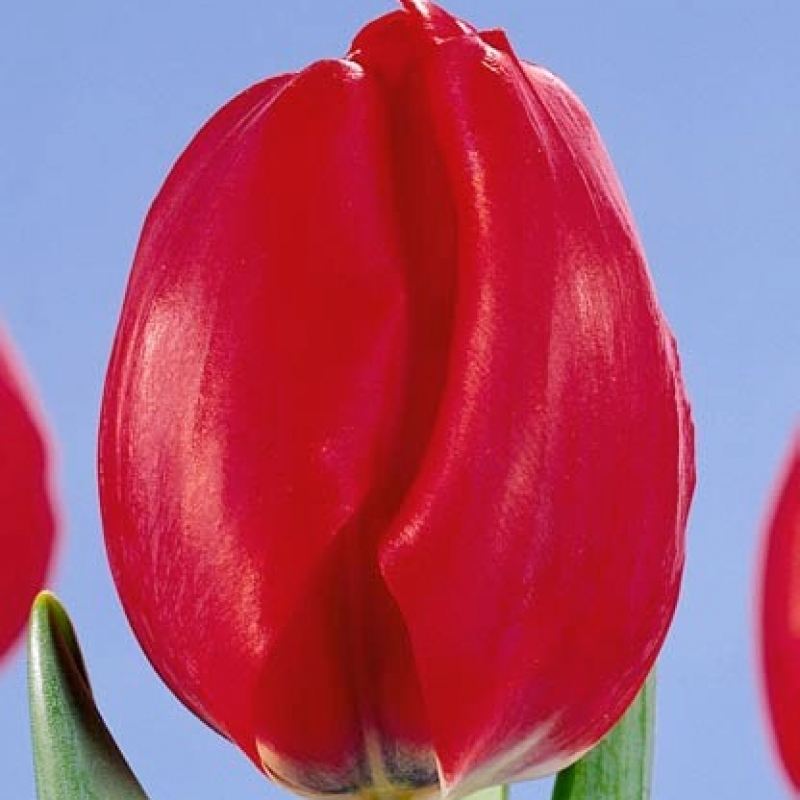 Тюльпаны Ред Адаир