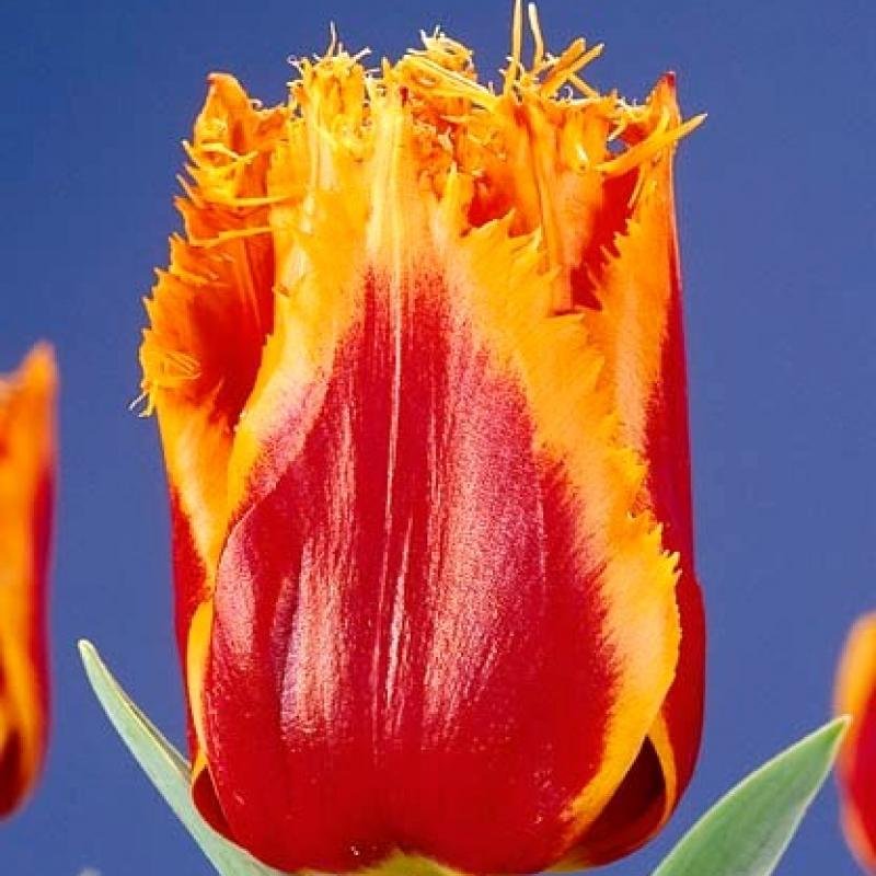 Тюльпаны Канары