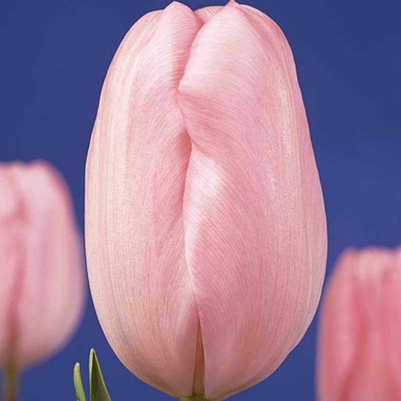 Тюльпаны Баронесса